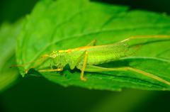 katydid nymph - stock photo