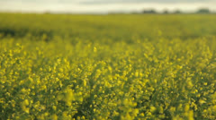 Canola Field Sunrise - stock footage