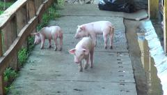 Baby Pigs, Piglets, Hogs, Farm Animals, 2D, 3D Stock Footage