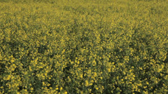 Canola - stock footage