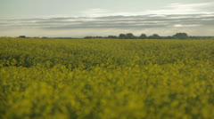 Canola Field Sunrise Stock Footage