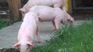 Stock Video Footage of Pigs, Piglets, Hogs, Farm Animals, 2D, 3D