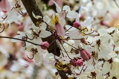 Wishing tree, pink showe, cassia bakeriana craib, beneath a tree flowering pi Stock Photos
