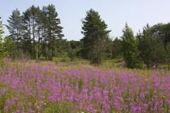 Willow-herb. Stock Photos