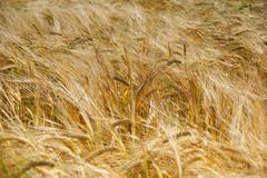 Cereal crop in the Summer - stock photo