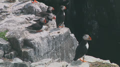 Group of puffins Stock Footage
