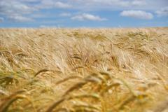 Summer cereal crop Stock Photos