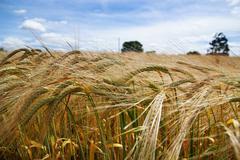 Summer barley crop Stock Photos