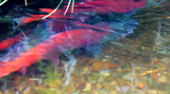 The redfish on spawning places. salmon in transparent water Stock Footage
