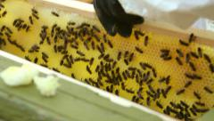 Person takes a honey comb with bees out of the hive Stock Footage