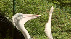 Pelicans play with a net Stock Footage