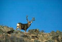 Mule Deer Buck - stock photo