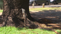 Goanna in Park, Port Macquarie, 2012 02 Stock Footage