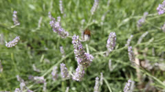 Bumble bee landing on lavender Stock Footage