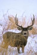 Stock Photo of Mule Deer Buck