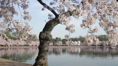 Washington dc cherry blossoms Stock Footage