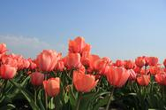 Stock Photo of pink tulips