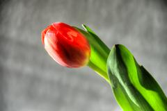 red tulip - stock photo