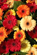 gerberas in red, orange and yellow - stock photo