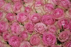 Sparkling pink roses Stock Photos