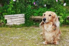dachshund  with long hair outdoors - stock photo