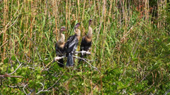Anhingas in the Everglades - stock footage