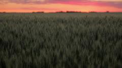 Wheat Field Sunrise Stock Footage