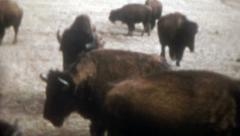 Old Vintage Film 1950s Buffalo Herd Bison Bull Cow Calf Plains Fur Food American Stock Footage