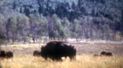 Old Vintage Film 1950s Big Buffalo Bison Bull Grass Plains Herd Outdoor Natural  Stock Footage