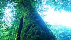 big tree with moss - stock footage