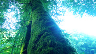Stock Video Footage of big tree with moss