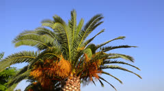 Palmleafs on beautiful bright blue sky, palmtree gently moves on wind, beauti Stock Footage