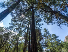 4K 24p Rotational slider upshot pine trees and clouds with sun flare timelapse Stock Footage