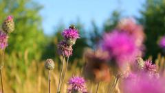 Honey bee on a beautiful wild pink flower in a natural meadow Stock Footage