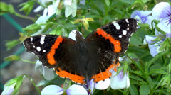 Butterfly Red Admiral wings close up - stock footage