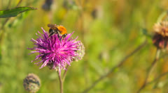 Bee collecting nectar on a purple flower blossom in natural meadow Stock Footage