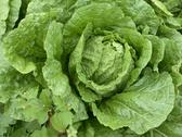 Stock Photo of Freshly Grown Lettuce