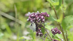 Common blue butterfly Stock Footage