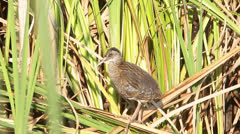Water rail, Rallus aquaticus, single bird standing on reed Stock Footage