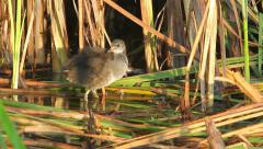 Common moorhen baby bird looking for food in swamp Stock Footage