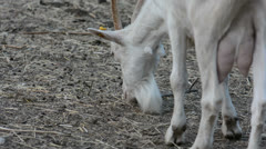 White goat eats grass Stock Footage