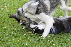 two huskies playing - stock photo