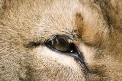 a lion's eye - stock photo