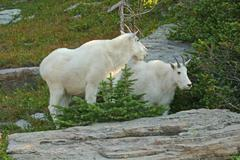 mountain goat with kid - stock photo