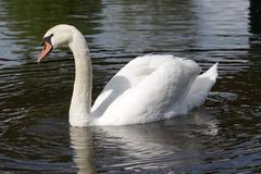 Male mute swan Stock Photos