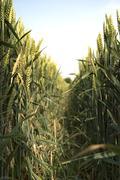 through the wheat - stock photo