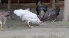 Farm Roosters Hens Chicks Feeding - stock footage