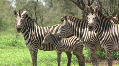 Group of Burchell's Zebra - stock footage