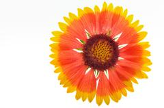 Gaillardia aristata Stock Photos