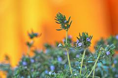 fresh green thyme herbs  isolated on a orange background - stock photo